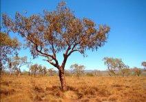 Кровавое дерево